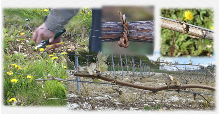 attache papier armée ligapal - attaches annuelles - attacher la baguette - attacher les vignes taille en guyot